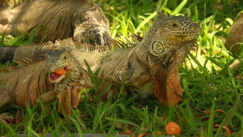 iguanas eating Stock Video Footage