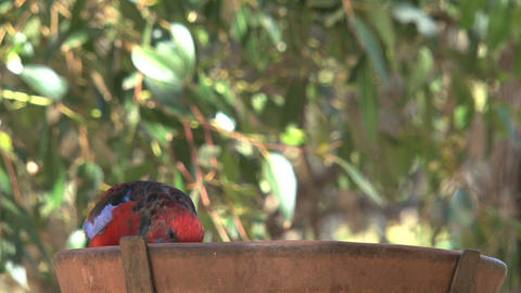 colorful red and blue parakeet eating seeds Stock Video Footage