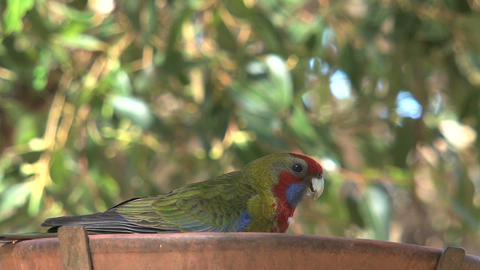 colorful red, green and blue parakeet eating seeds Stock Video Footage