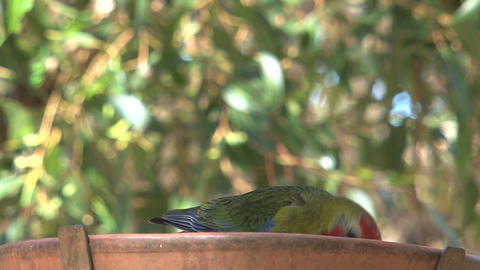 colorful red, green and blue parakeet eating seeds Footage