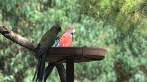 Colorful parakeet eating Stock Video Footage