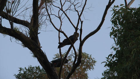 Red-tailed black cockatoos in tree Stock Video Footage