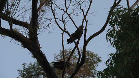 Red-tailed black cockatoos in tree Footage
