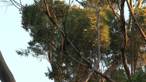 Red-tailed black cockatoos in tree on a windy day Stock Video Footage