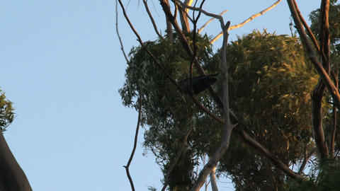 Red-tailed black cockatoos in tree on a windy day Footage