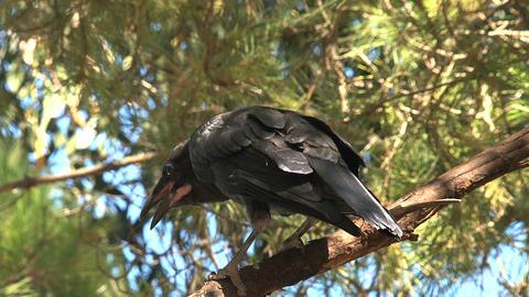 Black crow Stock Video Footage