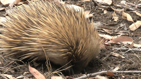 Echidna digs Footage
