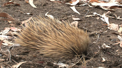 Echidna digs Stock Video Footage