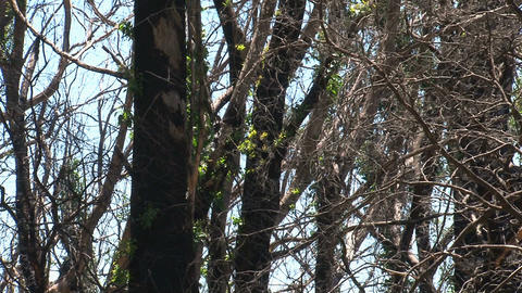 Zoom out from burned tree at Dandenong Ranges Stock Video Footage