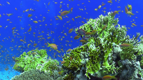 Shoal of Red Fish on Coral Reef Footage