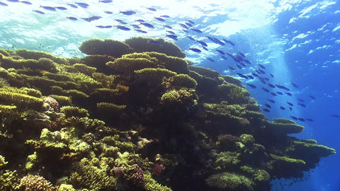 Shoal of Blue Fish on Coral Reef Stock Video Footage