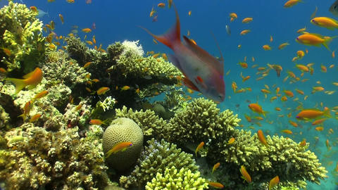 Shoal of Red Fish on Coral Reef Stock Video Footage