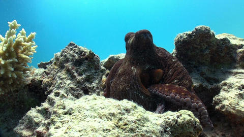 Octopus on Coral Reef Footage