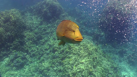 Napoleon fish on Coral Reef Stock Video Footage