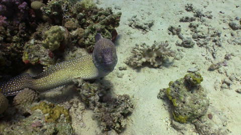 Moray on Coral Reef Stock Video Footage