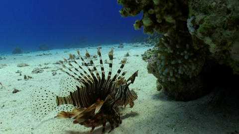 African lionfish on Coral Reef Stock Video Footage
