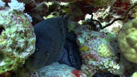 Murena on Coral Reef Stock Video Footage