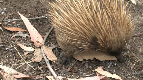 Echidna looking in and around leafs for ants and t Stock Video Footage