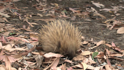 Echidna digging in the ground looking for ants and Stock Video Footage