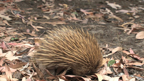 Echidna digging in the ground looking for ants and Footage