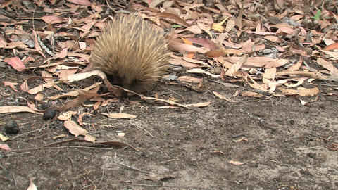 Echidna walking around while digging in the ground Footage