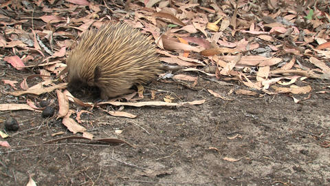 Echidna walking around while digging in the ground Stock Video Footage
