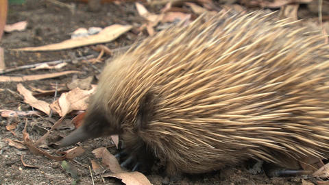 Close up from an echidna digging in the ground Stock Video Footage