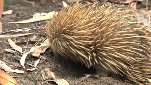 Close up from an echidna digging in the ground Live Action