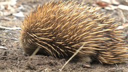 Echidna digging in the ground and moves on Footage