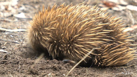 Echidna digging in the ground and moves on Stock Video Footage