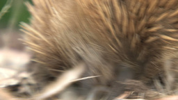 Close up from an echidna digging in the ground Footage