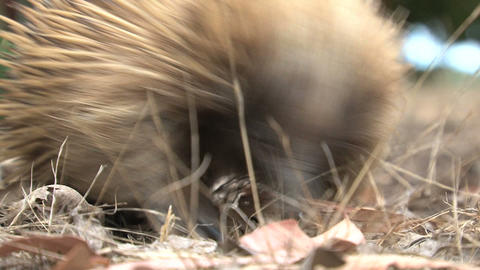 Close Up From An Echidna Looking For Food stock footage