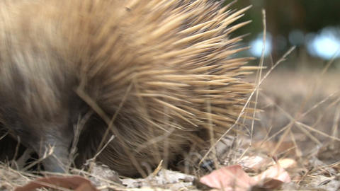 Close up from an echidna looking for food Stock Video Footage