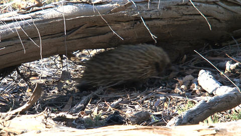 Echidna passes under a tree Stock Video Footage
