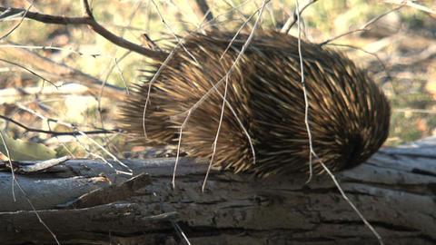 Echidna walking at a death tree looking for ants a Stock Video Footage