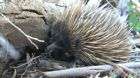 Echidna searching between a bark for ants and term Stock Video Footage