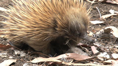 Echidna walking around looking for food Stock Video Footage