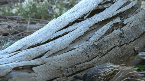 Echidna clims at a death tree to look for food Stock Video Footage