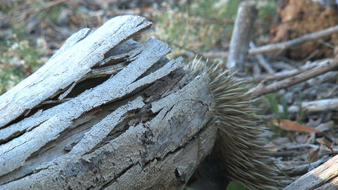 Echidna behinde a death tree eating ants and termi Stock Video Footage