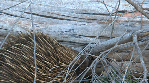 Echidna searching for food on a death tree Stock Video Footage