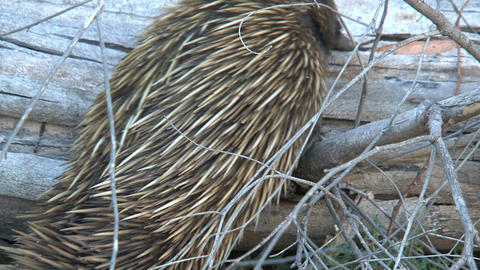 Echidna searching for food on a death tree Footage