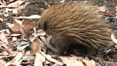 Echidna walking around looking for food Footage
