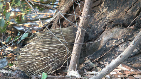 Echidna standing against a tree eating ants and te Stock Video Footage