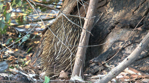 Echidna standing against a tree eating ants and te Footage