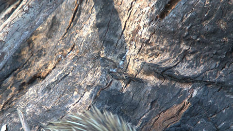 Echidna eating ants and termites from a death tree Footage
