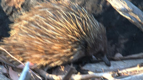 Echidna eating ants and termites Stock Video Footage