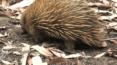 Echidna digging in the ground looking for ants and Live Action