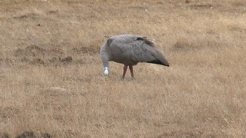 Cape Barren Goose eating grass Footage