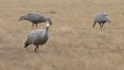 Group Cape Barren Goose eating grass Stock Video Footage