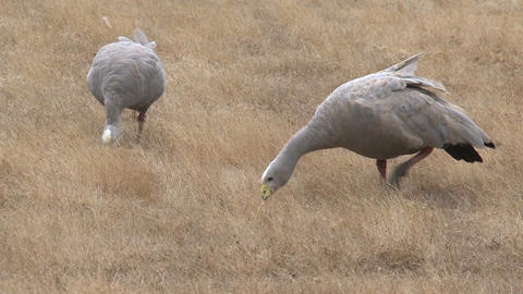 Cape Barren Goose eating grass Stock Video Footage